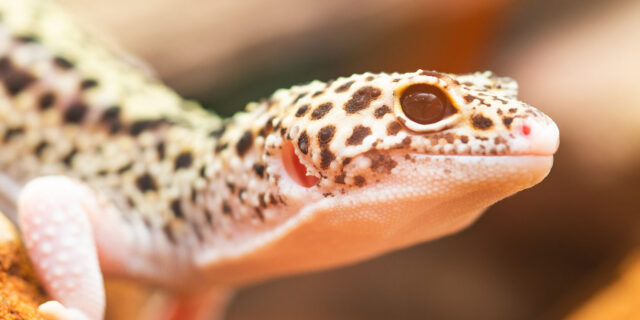 Leopard gecko thermometers